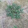 芝生 雑草